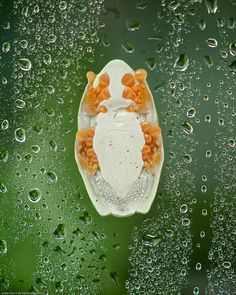 'Rain' Forest Tree Frog Underside by citizenlouie #Tree_Frog