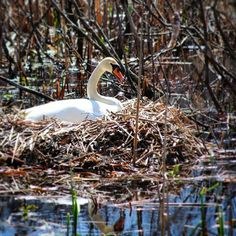 Saw this beautiful nesting swan as I was walking the Fetzer grounds a few weeks ago. Just west of the Institute is Dustin Lake, which I'm debating calling 'Swan Lake' from here on out.