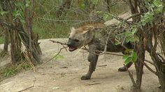 Adorable #Hyena pups being playful on #sunrise drive this morning! Join us LIVE on #SafariLive May 7, 2015