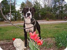 LAKEVILLE, MA - Boxer/Labrador Retriever Mix. Meet diLLon, a dog for adoption. http://www.adoptapet.com/pet/10734366-lakeville-massachusetts-boxer-mix