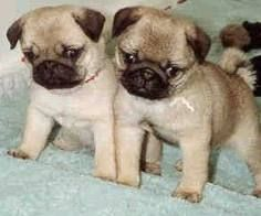 everything is cuter as a teacup Pug Puppies, Little Puppies, Funny Dogs, Cute Dogs, Teacup Pug, Baby Pugs, Pug Love, Beautiful Dogs, Dog Breeds