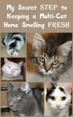 "What's my secret ""step"" to keeping my multi-cat home smelling FRESH day after day? New Fresh Step with the power of Febreze! Check out my review, plus hear about more antics from Alex the Fuzz and his adopted sister Zoe! #ad #FreshStepFebreze"