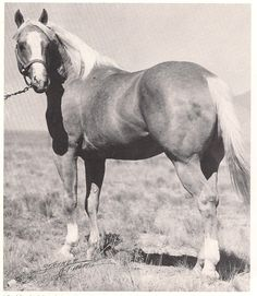 Miss Helen; 1935; Palomino mare; (Plaudit x Headlight 3 (U)); was one of the Philmont/CS mares that Wiescamp use in his breeding program; OFFSPRING RECORD:   Halter Point Earners   PICTURED is Gold Mount; 1940; Palomino stallion; (by Brush Mount x Miss Helen)