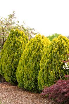 Dwarf Golden Arborvitae - Monrovia - Dwarf Golden Arborvitae