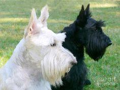 scottie terriers   Scottish Terrier Dogs Photograph