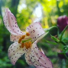 Lilium rubescens, Redwood Lily - Chaparral Lily
