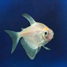 have 3 white skirt tetra from LFS SP 8/14/15 $1 ea. All doing great as of 3/24/16. 11/1/16 noticed 1 trouble swimming. 11/29/16 same 1 swimming kind of sideways. Always grabs food, but often releases it.