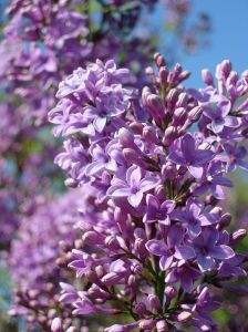 What Color Is Lilac | 758689_lilac_.jpg