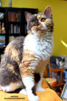 Selkirk Rex SH Curly cat ,chat mouton Cute Kittens, Cats And Kittens, Selkirk Rex, Rex Cat, T Rex, Curly Cat, Animals And Pets, Kitty Cats, Animals
