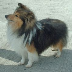 sheltie dogs for adoption   show quality shetland sheepdog sheltie puppies FOR SALE ADOPTION from ...