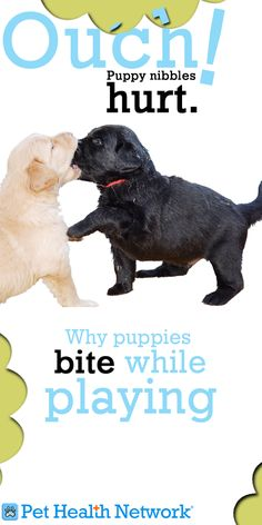 Why puppies bite while playing #OUCH #Puppy nibbles #hurt