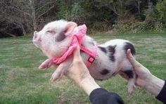 Yes! De pig, he fliez!!!