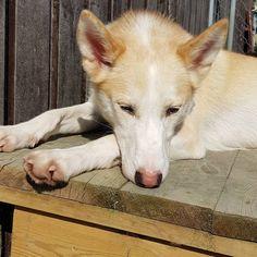 Verdens søteste og gladeste Belle 💖 når man har en Belle blir det aldri kjedelig i hundegården 🤣 ho er en klovn uten like med en hjerte av… Husky, Corgi, Animals, Instagram, Corgis, Animales, Animaux, Animal, Animais