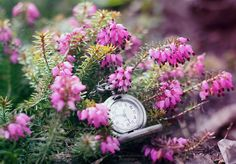 springtime. ['2013] by panna-poziomka.deviantart.com on @deviantart #photography #heather #clock #nature #flora #flowers #PANNAPOZIOMKAphotography #garden #bokeh #pink