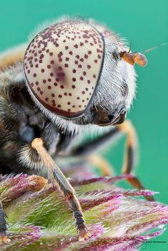 Syrphid Fly - Eristalinus aeneus