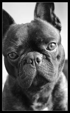 French Bulldog / Cutie / Dogs / Dog / Franse Bulldog / Brutus / Frenchie / Black & White / Animals