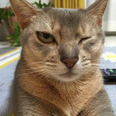 サツキ  #photo#ajoutera#canon#stagephoto#landscape#shooting#work#canon5dmark3#night#iPhone#cat#abyssinian#catlovers#catstagram#catsagram#photographers#photoshoot#ilovecat#pets#pet#petstagram#写真#カメラ#キャノン#ネコ#アビシニアン#ねこ#猫#ねこ部#ネコ大好き by @bigmancheese