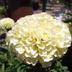 Marigold vanilla improved hybrid soft creamy white fully double marigold vanilla improved hybrid garden seeds annual flower seeds mightylinksfo