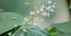 patchouli or patchouly (both: păch´ŏŏlē, pəchōō´lē), fragrant shrubby East Indian plant (Pogostemon cablin or P. patchouli) of the family Labiatae (mint family). It is the source of a perfume oil, also called patchouli, distilled from the leaves.