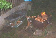 Fox theif