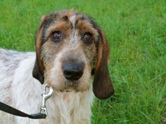 Smeily un chiot GRIFFON sur (),SOSTOUTOU, Le site d'adoption de chiens et chiots à adopter
