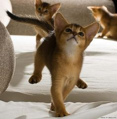 Abyssinian kittens - Spoil your kitty at www.coolcattreehouse.com