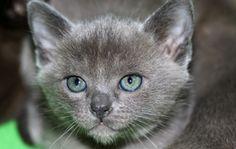 blue burmese cat - Google Search