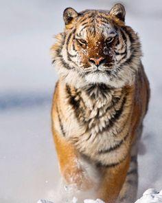 """Amur Tiger by © suhaderbent """