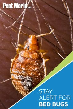 Hitting the road for the holidays? Stay alert for signs of bed bugs when staying in hotels or other lodging facilities. Check out the Bed Bug Pest Guide on PestWorld to learn more about the signs of an infestation and how to avoid bringing this hitchhiking pest home with you. Signs Of Bed Bugs, Bed Bugs Pictures, Bed Bugs Treatment, Bed Bug Bites, Mosquito Repelling Plants, Insects, Hotels, Cleaning, Holidays