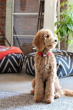 Spotted: A Goldendoodle in Tinseltown - Dog Milk Chien Goldendoodle, Goldendoodle Names, Goldendoodles, Labradoodles, Goldendoodle Haircuts, Standard Goldendoodle, Goldendoodle Grooming, Dog Haircuts, Pom Poms