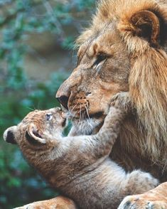 18 ideas mother nature face big cats for 2019 Cute Baby Animals, Animals And Pets, Funny Animals, Big Cats, Cats And Kittens, Cute Cats, Beautiful Cats, Animals Beautiful, Gato Grande