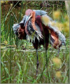 ~Goliath Heron (Ardea goliath), also known as the Giant Heron, is a very large wading bird. It is found in sub-Saharan Africa, with smaller numbers in Southwest and South Asia. (Wikipedia.)