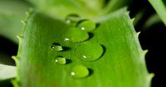 L'Aloé Vera est l'un de nos meilleurs amis santé et beauté. Ingrédient hydratant et protecteur, ou remède médical naturel, il est un atout bien-être incontournable.  Découvrez l'astuce ici : http://www.comment-economiser.fr/vetus-aloe-vera.html