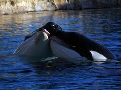 Orca kiss Photo by SChilders Photography