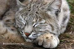 This is Athena, the bobcat, and you can learn more about her at http://www.wildcatsanctuary.org/residents/small-cats/bobcats/athena/