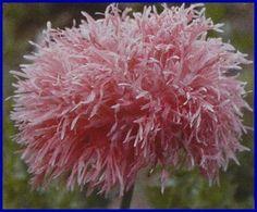 PLANTS: Papaver Poppy --- Dr. Seuss anyone?!