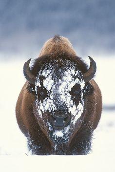 Love, love, love the spirit of the buffalo!