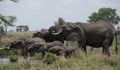 The elephants of Tanzania's Serengeti National Park may have figured out where danger is – and where it usually isn't. Scientists examine the stress levels of these gentle behemoths of the savanna to see if they have an innate sixth sense.