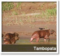 best travel to tambopata in the peruvian jungle.