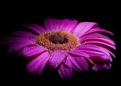 hands down the most beautiful flower out there--GERBER DAISY