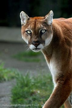 one of the most beautiful creatures on the planet! Cougar are so beautiful! Beautiful Cats, Animals Beautiful, Cute Animals, Power Animal, Mountain Lion, Wild Creatures, Small Cat, Nature Animals, Wild Animals