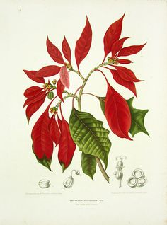 "Items similar to Poinsettia Clipart ""Christmas Star"" Vintage Botanical Illustration for Wall Art Decor, Collages, Scrapbook, Transfers, Gift Tags. on Etsy Illustration Botanique, Plant Illustration, Botanical Illustration, Christmas Plants, Christmas Wall Art, Christmas Star, Christmas Poinsettia, Christmas Images, Merry Christmas"