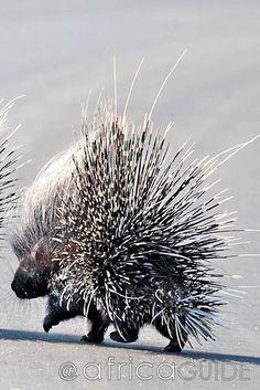 Porcupine in South Africa - Kruger National.