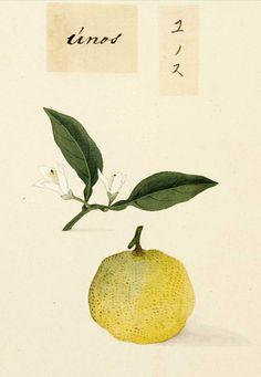 Citrus junos by Kawahara Keiga 川原慶賀 c1823 - 1829