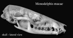 Vejam agora um crânio de MONODELPHIS MACAE, totalmente derivado, semelhante à M. osgoodi em vários aspectos. Os pesquisadores de marsupiais atuais são completamente ignorantes em termos de evolução. São incapazes de sair dos cabrestos, não são cientistas.....são simplesmente funcionários públicos acomodados.