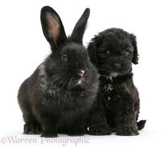 Black Cockapoo pup, 6 weeks old, with a black rabbit