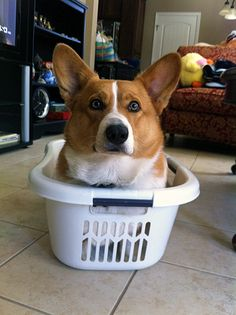 Corgi in a laundry basket, that's what. This is why I love dogs LOVE DOGS! Cute Corgi, Corgi Dog, Cute Puppies, Dogs And Puppies, Dog Cat, Teacup Puppies, Baby Dogs, Pet Dogs, Baby Animals
