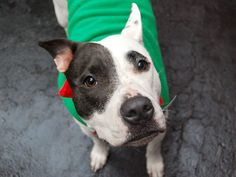 SAFE 12/17/14 Manhattan Center   NANA - A1022441   FEMALE, WHITE / BLACK, AMERICAN STAFF MIX, 1 yr, 2 mos OWNER SUR - EVALUATE, NO HOLD Reason ALLERGIES  Intake condition UNSPECIFIE Intake Date 12/05/2014, From NY 10459, DueOut Date 12/08/2014,  https://www.facebook.com/photo.php?fbid=918262208186659