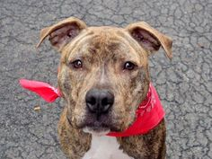 TO BE DESTROYED 02/06/15 Manhattan Center -P My name is KOBE. My Animal ID # is A1026571. I am a neutered male br brindle and white american staff mix. The shelter thinks I am about 1 YEAR 8 MONTHS old. I came in the shelter as a OWNER SUR on 01/29/2015 from NY 10465, owner surrender reason stated was TOO STRONG.