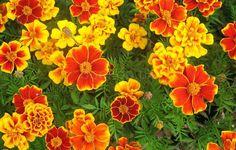 Как вырастить бархатцы Marigold, Yellow Flowers, Garden, Plants, Image, Lawn And Garden, Gardens, Plant, Outdoor